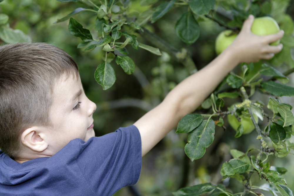 Young boy picking and eating fresh apples from a tree